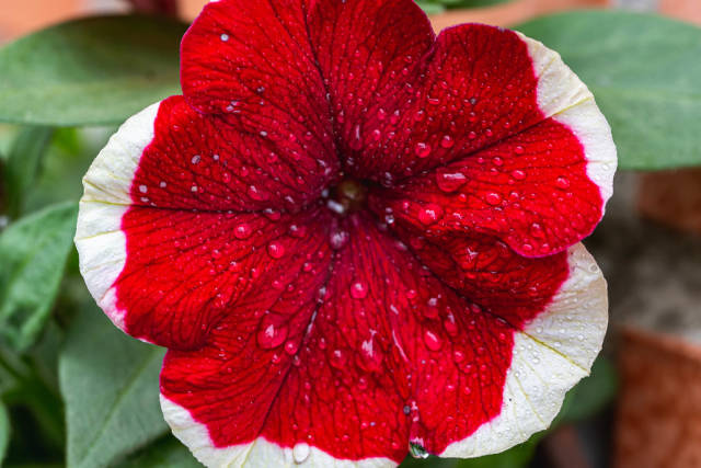 Beautiful flower petunia hybrid red flower with white margin and water drops
