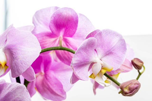 Flowers Orchid Phalaenopsis pink color with water drops