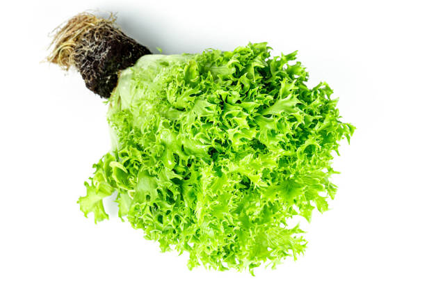 Fresh lettuce bush with roots on white