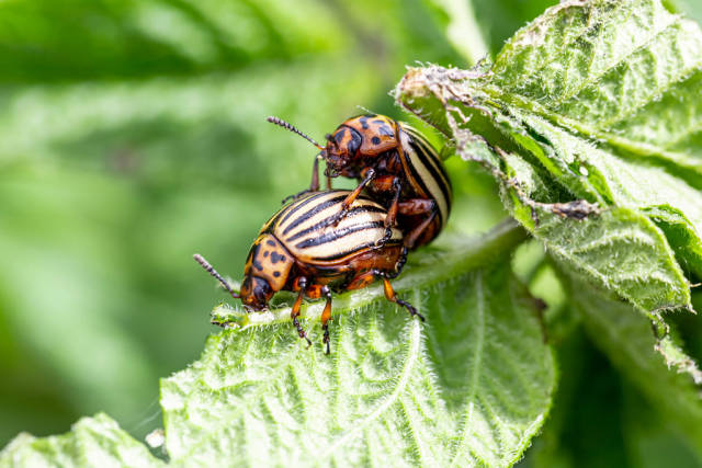 Colorado potato beetles mating on the leaves of green potatoes