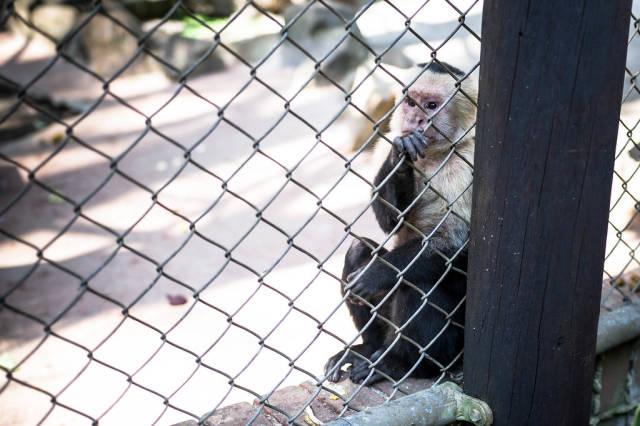 Auf deutssch übersetzen => Whitefaced capuchin monkey
