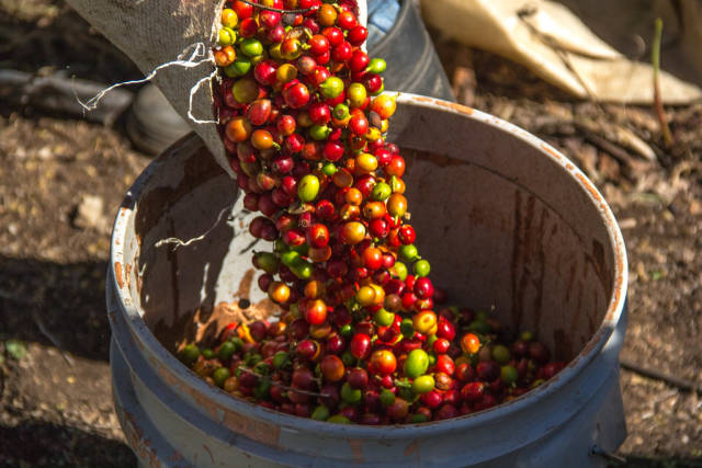 Coffee Beans Falling into a Bucket