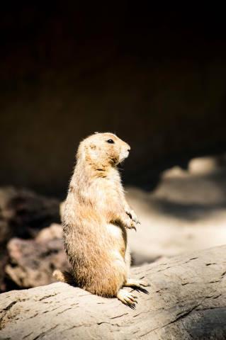 Prairie dog looking away