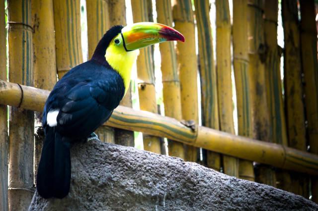 Auf deutssch übersetzen => Guatemalan keel billed toucan