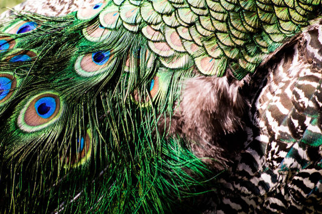Close-up of a peacocks colorful feathers