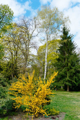 Bright yellow tree next to others in a park in Spring