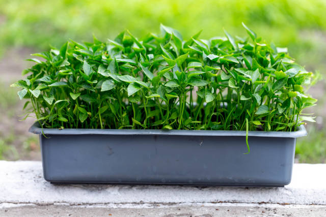 The container with the seedlings of sweet pepper (Flip 2019)
