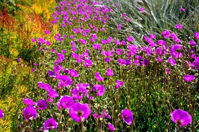 Feld mit violettfarbenen Blumen