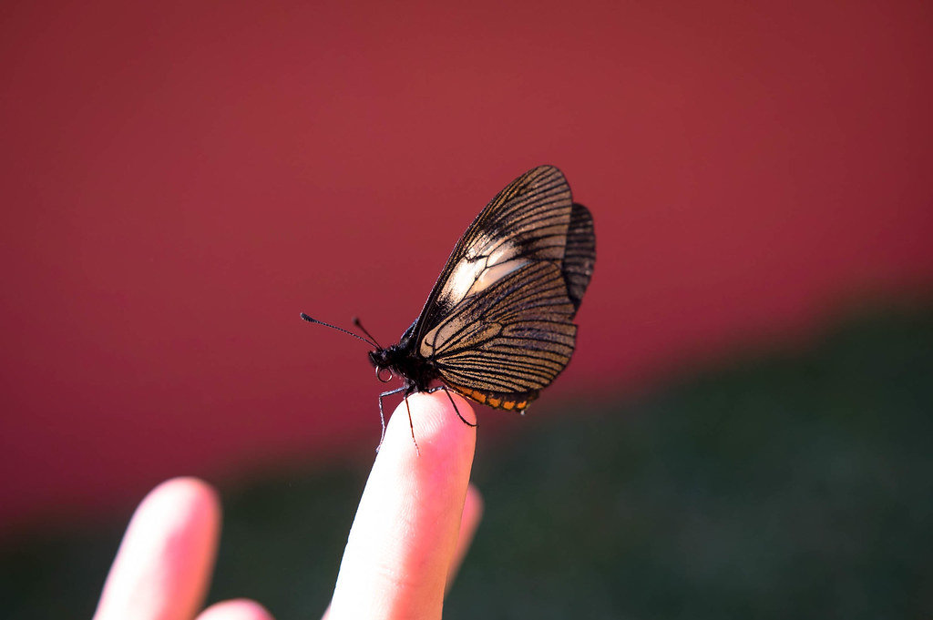 Schmetterling steht auf dem Finger eines Menschen