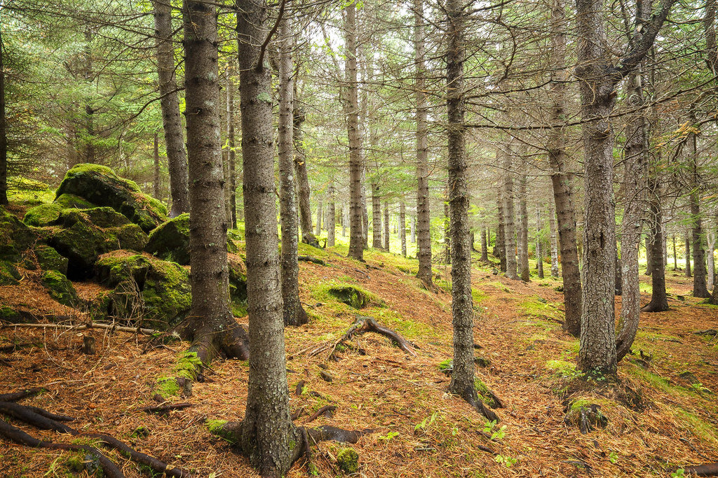 Iceland forest