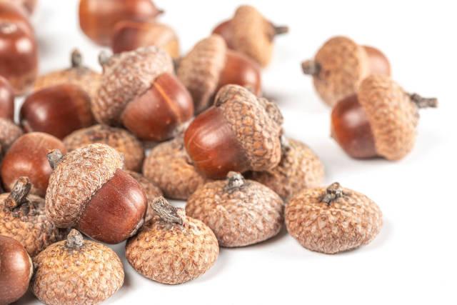 Ripe oak acorns with caps on white