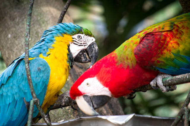 Scarlet and blue and gold macaws eating