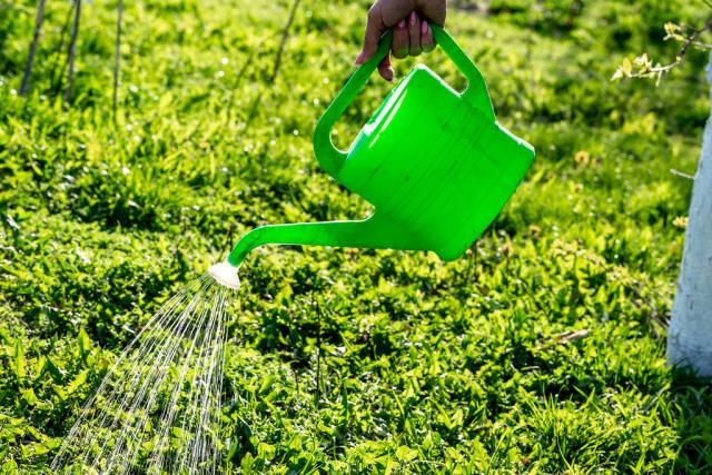 Frauenhand hält eine grüne Gießkanne mit Brausenaufsatz und gießt das grüne Gras im Sommer