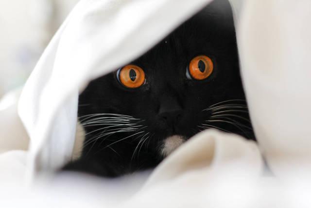 Hidden Cat in white sheet