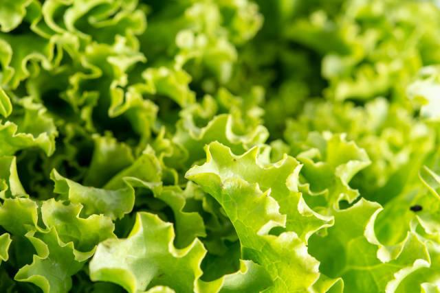 Closeup of Fresh Green Lettuce Salad