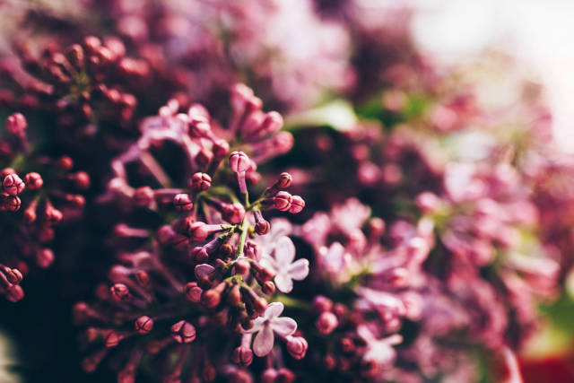 Close up of lilac flowers. Sunlight and blurry background.
