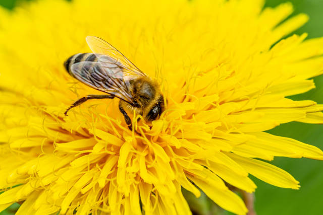 Close-up, bee on a yellow dandelion