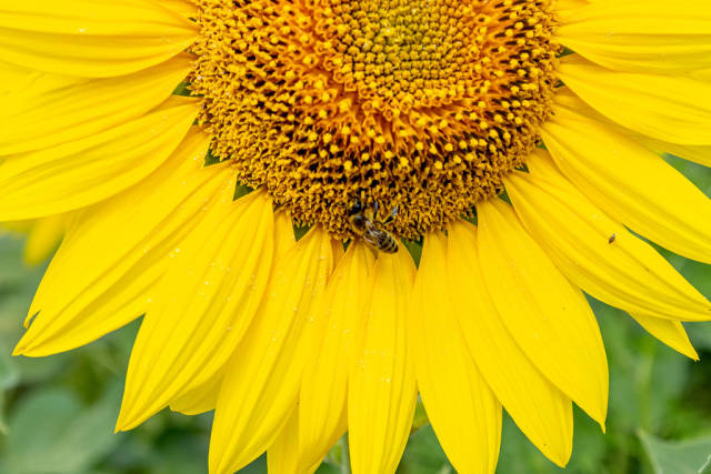 Close-up of sunflower with bee
