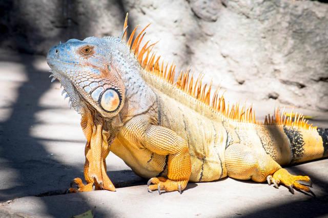 Gelber Leguan mit hellblauem Kopf