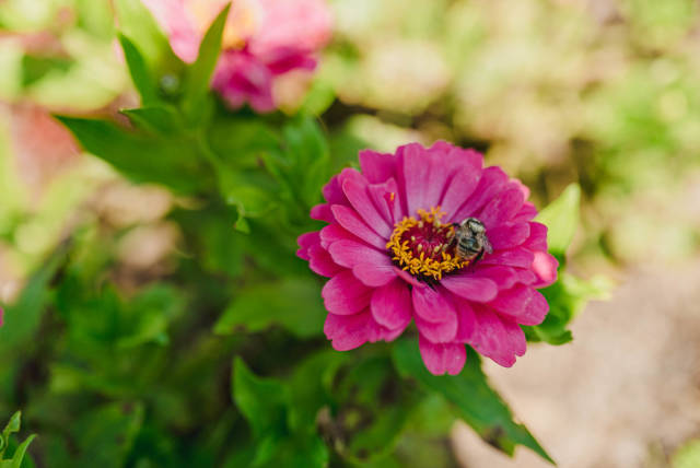 Flower Bright Pink Zinnia With A Bee