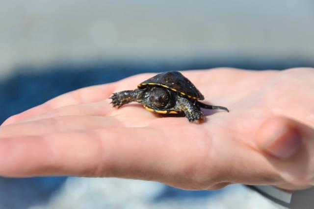 Mini-Meeresschildkröte (Turtle)