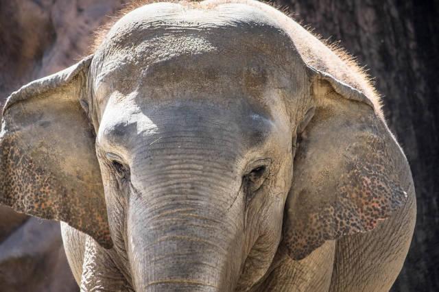 Nahaufnahme des Gesichts eines Elefanten