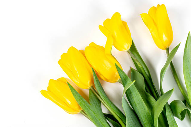 Spring bouquet of yellow tulips. Happy Mothers Day, Happy Easter or Happy Birthday