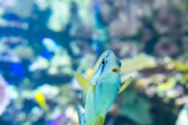 Yellow spot rabbitfish swimming up