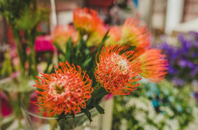 Protea Caffra Flower Botancial Clsoe Up