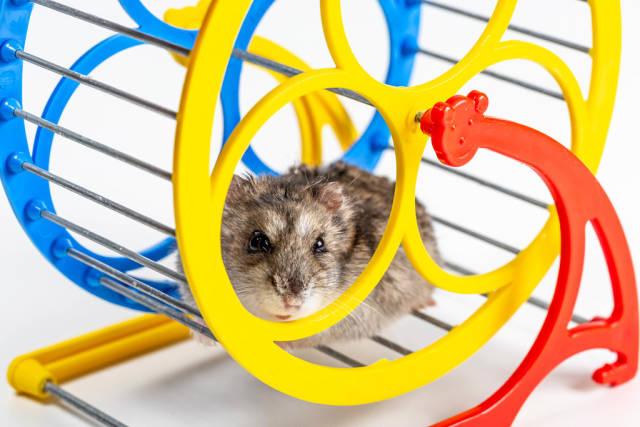 Running hamster in a wheel