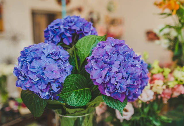 Purple Hydrangea Flowers Close Up