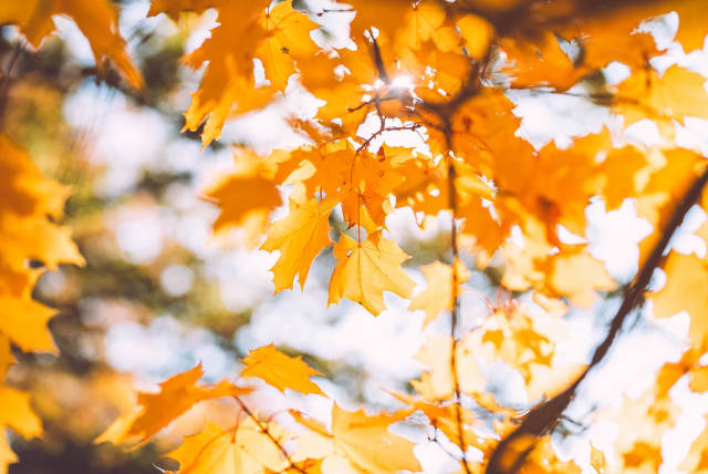 Closeup Of Maple Leaves