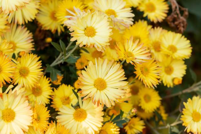 Blooming yellow chrysanthemum bush, close-up