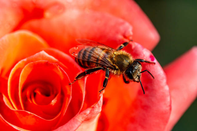 Close-up, bee on a red rose, pollination of a flower