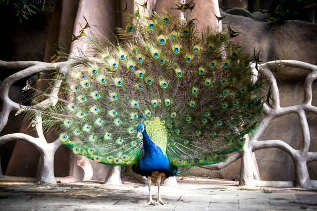 Peacock dance display