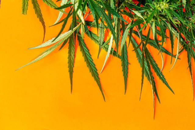 Green cannabis leaves, marijuana on orange background