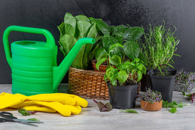 The concept of growing fresh herbs at home. Herbs in flower pots and fresh herbs