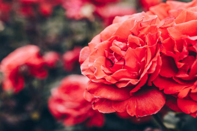 Close up of red rose in a rose garden