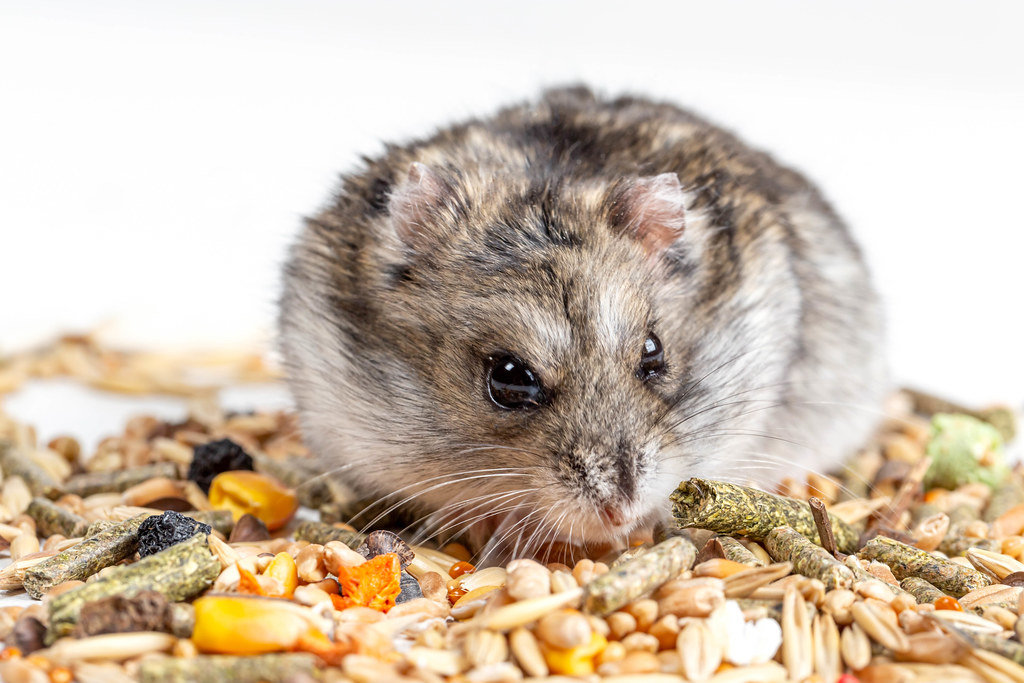 Hamster face, close-up. Rodent food, hamster food concept
