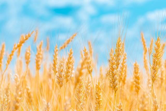 Golden ears of wheat on blue sky background (Flip 2019)