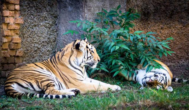 Tiger beim Rasten