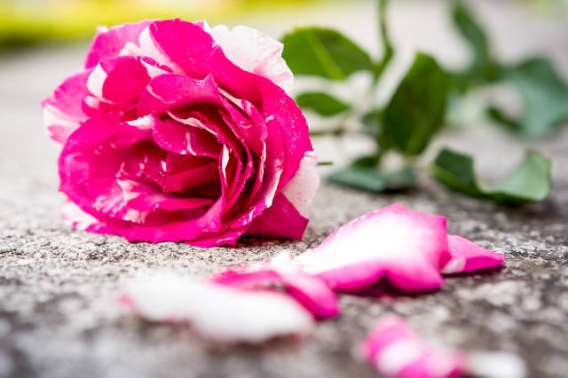 Pink and white rose on the floor