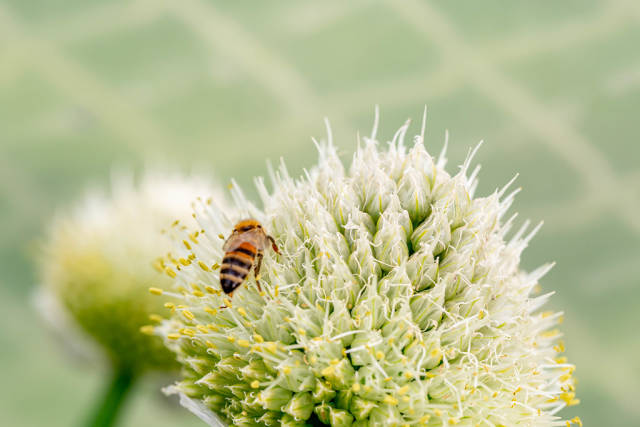 Working bee on a onion flower