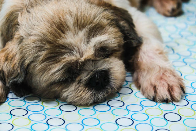 Sleeping shih tzu dog on bed