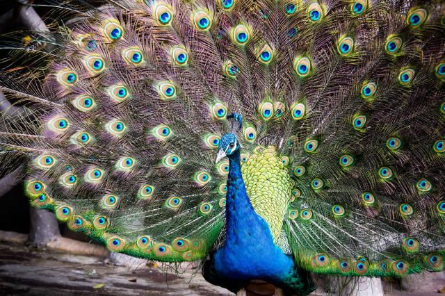 Auf deutssch übersetzen => Peacock feather fan