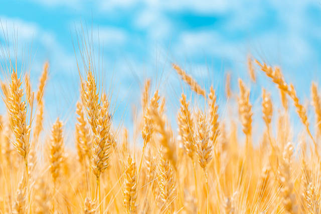 Golden ears of wheat on blue sky background