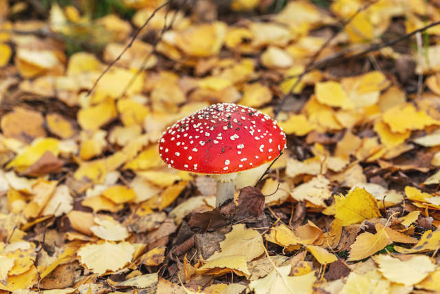 Amanita mushroom in the forest with autumn yellow leaves