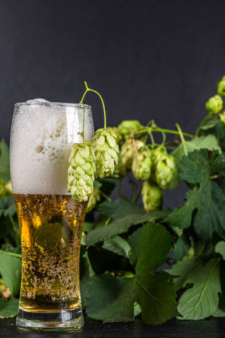 Light beer in a glass on a dark background with branches of hops