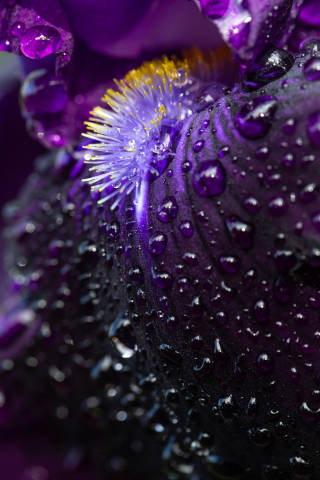 Closeup of an iris flower with drops after rain. Beautiful purple background