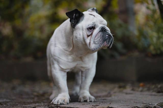 English Bulldog in the Yard